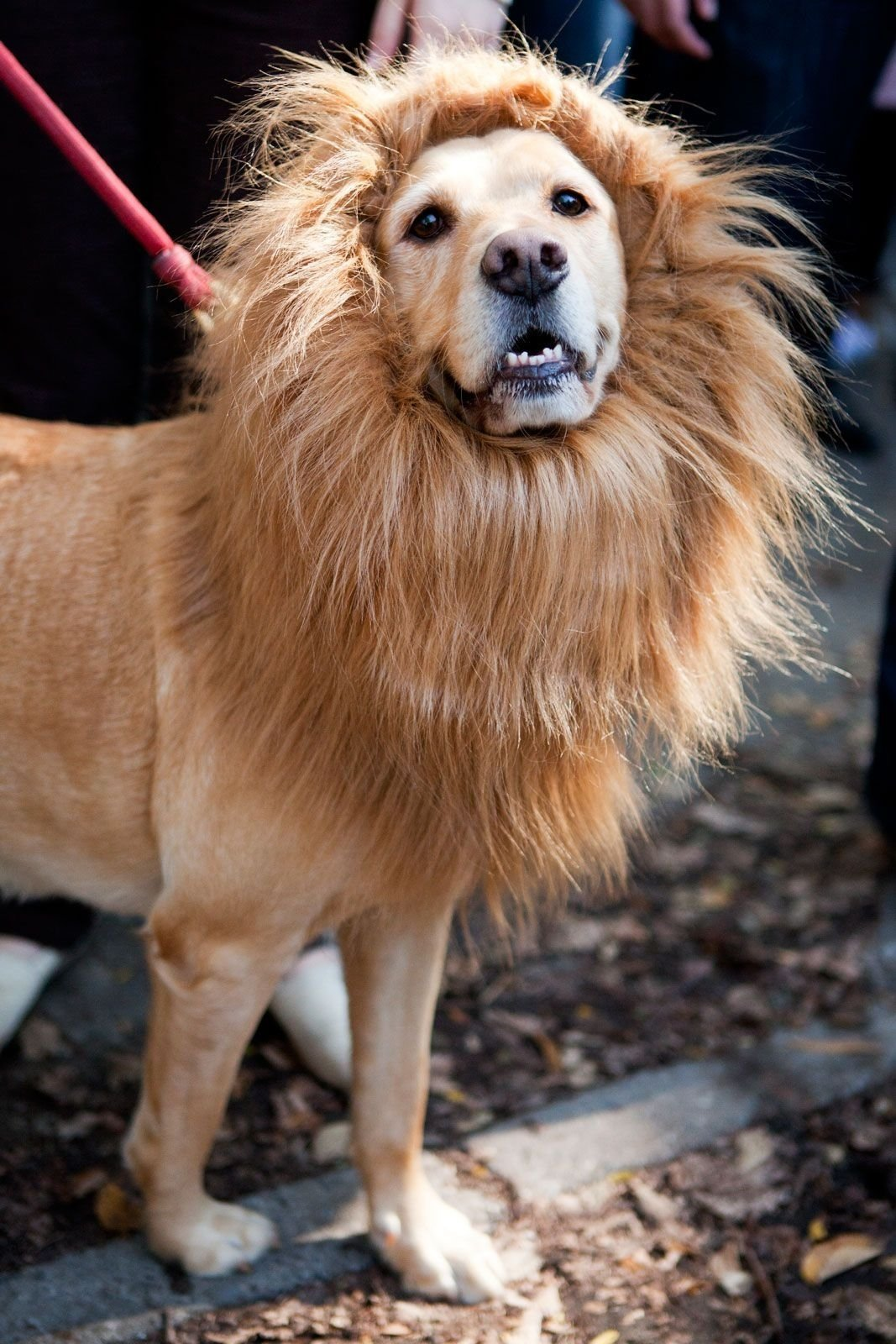 10 Stylish Halloween Costumes For Dogs Ideas 28 adorable dogs winning halloween dog halloween halloween 1 2020