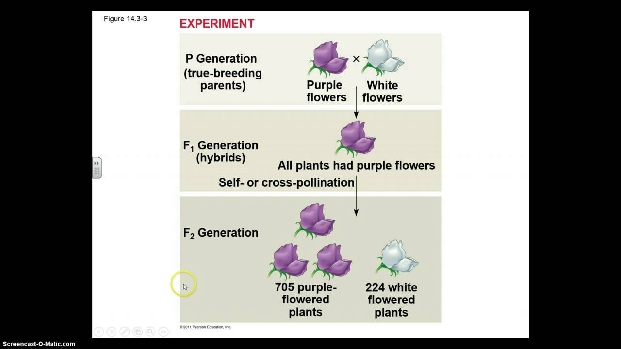 ch. 14 mendel and the gene idea part i - youtube